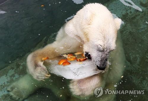 韩国某动物园的北极熊享用冰镇水果