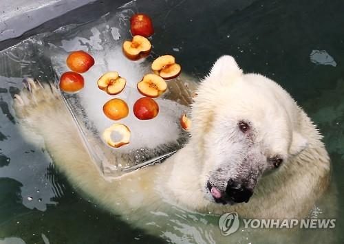 韩国某动物园的北极熊冰镇享用水果(恐龙图片:韩来源)我想看好多联社图片