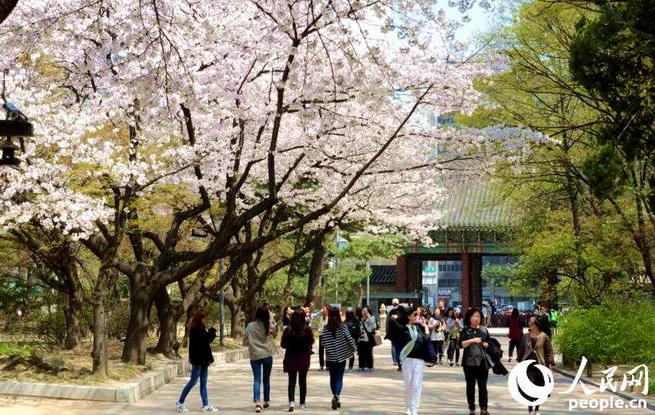 四月首尔赏樱 繁花似锦入画来