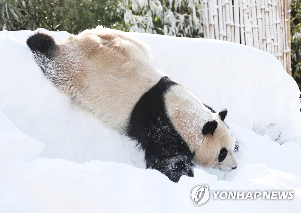 """1月25日,在位於韩国京畿道龙仁市的爱宝乐园,旅居韩国的大熊猫""""爱宝"""""""