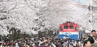 韩国各地樱花盛开 游人如织赏春景