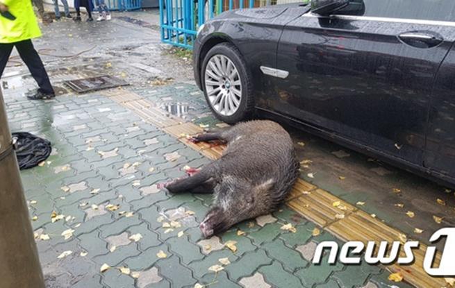"""野猪""""独闯""""韩仁川市中心被捕 未造成生命财产损失"""