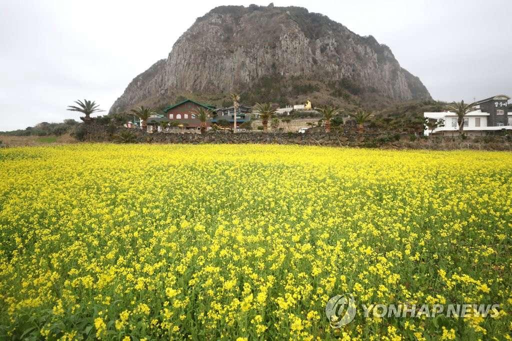 韩济州1月提前迎春花